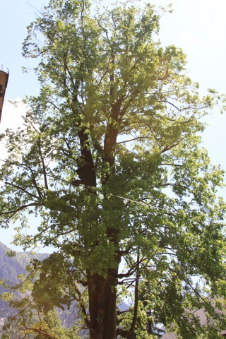 A linden tree in Podkoren after saw-trimming
