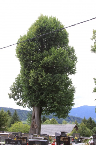 A linden tree in Šentgotard three years after saw-trimming