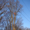 Felling oak trees above the power lines