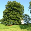 A linden tree in Strma njiva, placed under state protection as an object of cultural heritage, prior to saw-trimming and tying the top