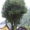 A linden tree in Železniki four years after the treatment