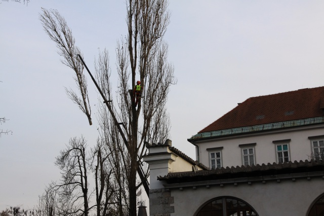 Felling four black poplar trees by means of a car jack by the Ljubljana market