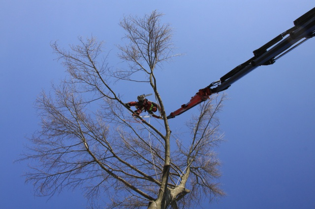Felling a beech tree