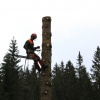 Felling a fir tree at Pokljuka
