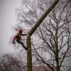 Felling a fir tree in Kamnik